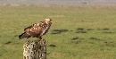 roofvogel op paal