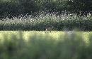 ree in staphorster veld